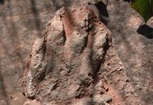 Ictina de rèptil d'Olesa de Montserrat