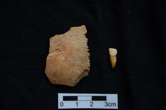 A l'esquerra el parietal i a la dreta la dent, ambdós atribuïts a un nen neandertal i descoberts durant l'excavació que es fa a la Cova de les Teixoneres - Florent Rivals/IPHES