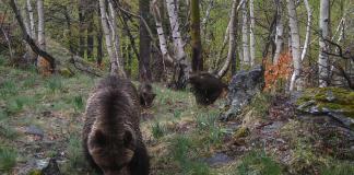 Imatge d'una óssa i els seus dos cadells passejant pel Parc Natural de l'Alt Pirineu